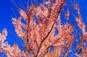 Branch Of Pink Purple Tamarix Tree Blooming On Blue Background. Blooming Branches Of Pink Purple Tam poster