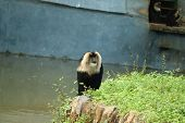 Portrait Of Lion-tailed Macaque, Macaca Silenus. Funny Monkey, Face To Face Look. Clear Green Backgr poster