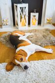 Beagle Dog Tired Lying Down On The Carpet Floor. Adorable Canine Background poster