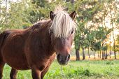 Brown Pony Portrait With White Mane On Green Meadow Near Forest poster