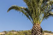 Palm, Palm Plant, Tree, Crown Of A Palm Tree In Dry Cape Town In South Africa With Blue Sky. poster