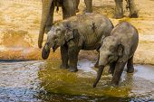 Two Juvenile Asian Elephants Standing Together At The Water Side, Asiatic Elephant Calves, Endangere poster