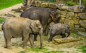 Asian Elephant Family Portrait, Group Of Asiatic Elephants Together, Endangered Animal Specie From A poster