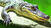 The American Alligator- Alligator mississippiensis is apex predator and consume fish, amphibians, re poster