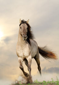 picture of running horse  - gray wild stallion running in a sunset