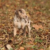 foto of catahoula  - Adorable brown Louisiana Catahoula puppy in autumn