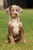 image of catahoula  - Louisiana Catahoula puppy sitting on the grass - JPG