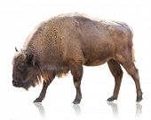 picture of female buffalo  - Portrait Of Bison Isolated On White Background - JPG
