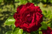 pic of garden eden  - red rose in the summer garden against green background - JPG