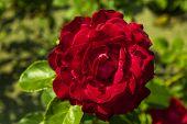 foto of garden eden  - red rose in the summer garden against green background - JPG
