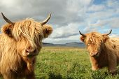 image of highland-cattle  - Close up of scottish highland cow in field - JPG