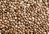 pic of seed bearing  - Cannabis Hemp seeds close up surface top view background - JPG