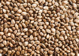 picture of seed bearing  - Cannabis Hemp seeds close up surface top view background - JPG