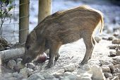 stock photo of wallow  - Young wild boar in a deer park