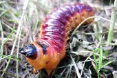 foto of grub  - big red grub as fresh meaty fishfood - JPG