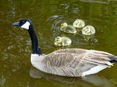 foto of boise  - A Canada Goose swims with her four small goslings in a Boise city park - JPG