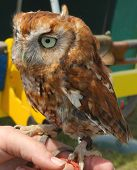 pic of owls  - Tawny Owl Chick  The Tawny Owl or Brown Owl  is a stocky - JPG