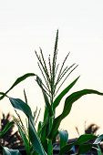 pic of zea  - Inflorescence at corn plantation with the sky - JPG
