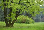 stock photo of linden-tree  - Big Linden Tree in Park with Early Spring Green Leaves - JPG