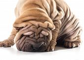 picture of shar pei  - chinese shar pei sniffing the ground isolated on white background - JPG