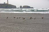 image of flock seagulls  - Seagulls on beach with Yaquina Head Lighthouse in background Newport Oregon coast - JPG