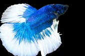 image of siamese fighting fish  - betta siamese fighting fish isolated with clipping path - JPG