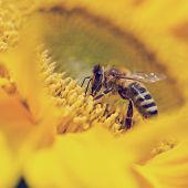 pic of pollen  - Close up of a honeybee Apis mellifera foraging for pollen on a bright yellow sunflower pollinating the crop as it passes from flower to flower - JPG