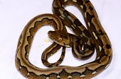picture of python  - beautiful baby motley mutation Reticulated Python  - JPG