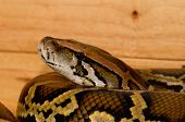stock photo of python  - beautiful Burmese Python  - JPG