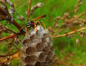 stock photo of hornet  - Vespa velutina nigrithorax the Asian hornet originates from Southeast Asia and is an invader wasp that has appeared in Europe in France Spain and Portugal - JPG