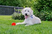 picture of toy dog  - A happy dog sits with his chew toy in a backyard during sumer - JPG