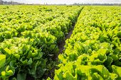 foto of endive  - Large field with long rows of Endive or Cichorium endivia plants in low afternoon sunlight - JPG