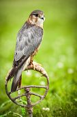 picture of pecker  - Common Kestrel  - JPG
