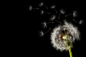 stock photo of dandelion seed  - Dandelion seed head on a black background - JPG