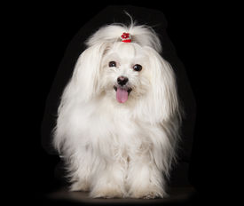 stock photo of maltese  - White Maltese dog is sitting on black background - JPG