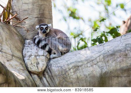 Ringtailed Lemur lemur Catta Sit