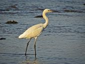 stock photo of tide  - At sun up, the Great White Egret dines in the morning as the Pacific Tide goes out