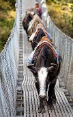 picture of yaks  - Yaks and people on hanging suspension bridge on the way to Mount Everest base camp near Namche Bazar  - JPG