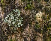 stock photo of lichenes  - Close up of lichens and mosses growing on the bark of a tree in Kauai forest - JPG