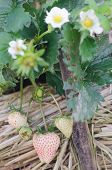 picture of strawberry plant  - fresh Strawberry plants already ripe to harvest - JPG