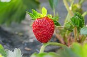 stock photo of strawberry plant  - fresh Strawberry plants already ripe to harvest - JPG