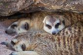 stock photo of meerkats  - group of meerkat  - JPG