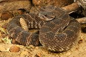 stock photo of venomous animals  - Portrait of a Southern Pacific Rattlesnake - JPG