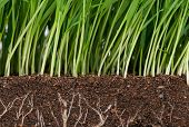 image of humus  - Bright green grass with roots in the organic soil - JPG
