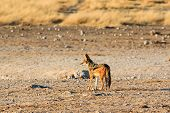 stock photo of jackal  - Black backed jackal observing salt pan Namibia Etosha National Park Africa - JPG