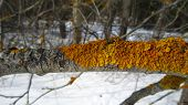 picture of lichenes  - Winter lichen colony on the twig surface - JPG