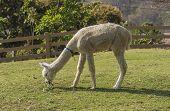 foto of alpaca  - alpaca eating grass under the sun light - JPG
