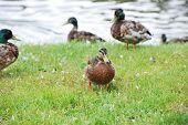 image of duck pond  - female mallard duck walk in grass beside pond - JPG