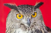 stock photo of eagle  - The Eurasian eagle - JPG