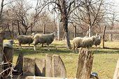 picture of herd  - Sheep herd grazing - JPG